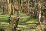 Great Spotted Woodpecker (Dendrocopos Major) in Woodland Setting Scotland  UK  February