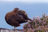 Red Grouse (Lagopus Lagopus Scoticus) Standing on Boulder with Heather  Peak District Np  UK