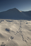 Mountain Hare Footprints in Snow  Creag Meagaidh National Nature Reserve  Scotland  UK  December