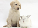 Yellow Labrador Retriever Puppy  8 Weeks  with White Rabbit