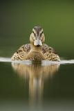 A Sub-Adult Female Mallard (Anas Platyrhynchos) Swimming on a Still Lake  Derbyshire  England