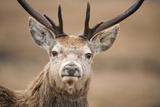 Portrait of Red Deer (Cervus Elaphus) Stag  Lochaber  West Highlands  Scotland  February