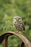 Little Owl (Athene Noctua) Perched on a Rusting Iron Wheel  Essex  England  UK  June