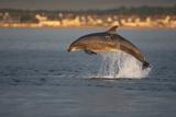Bottlenose Dolphin (Tursiops Truncatus) Breaching in Evening Light  Moray Firth  Scotland  UK