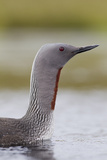 Red-Throated Diver (Gavia Stellata) Adult on Breeding Loch  Flow Country  Highland  Scotland  UK