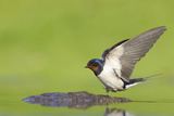 Barn Swallow (Hirundo Rustica) Collecting Mud for Nest Building  June  Scotland  UK