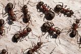 Wood Ants (Formica Rufa)  Arne Rspb Reserve  Dorset  England  UK  September 2020Vision Book Plate