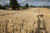 Ripe Oat Crop with Combine Harvester in Distance  Ellingstring  North Yorkshire  UK  August