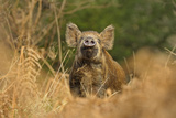 Wild Boar (Sus Scrofa) Female Smelling Air for Scent of Human  Forest of Dean  Gloucestershire  UK