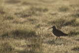 Curlew (Numenius Arquata) in Breeding Habitat in Early Morning Light  Cairngorms Np  Scotland  June