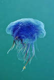 Blue Jellyfish (Cyanea Lamarckii)  Feeding on Small Plankton  Lundy Island  Devon  UK