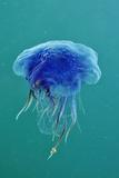 Blue Jellyfish (Cyanea Lamarckii), Feeding on Small Plankton, Lundy Island, Devon, UK Papier Photo par Linda Pitkin