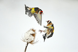 Two Goldfinches (Carduelis Carduelis) Squabbling over Common Teasel Seeds  Cambridgeshire  UK
