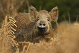 Wild Boar (Sus Scrofa) Female in Woodland Undergrowth  Forest of Dean  Gloucestershire  UK