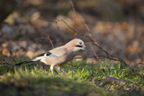 Jay (Garrulus Glandarius) Scotland  UK  February
