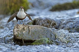 Dipper (Cinclus Cinclus) Stood on Exposed Stone in Fast Flowing River  Brecon Beacons Np  Wales  UK