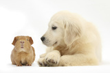 Golden Retriever Puppy  16 Weeks  Looking at Red Guinea Pig