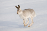 Mountain Hare (Lepus Timidus) in Winter Coat  Running across Snow  Scotland  UK  February