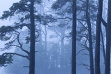 Abernethy Forest Nnr in Dawn Mist Cairngorms National Park  Scotland  UK  June 2011