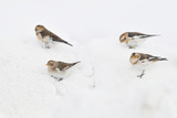 Snow Buntings (Plectrophenax Nivalis) Searching for Food in Snow  Cairngorms Np  Scotland  UK