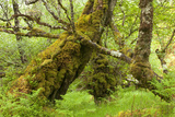 Silver Birch (Betula Pendula) with Trunk Covered in Moss in Natural Woodland  Highlands  Scotland