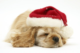 Buff American Cocker Spaniel Puppy  China  10 Weeks Old  Asleep Wearing a Father Christmas Hat