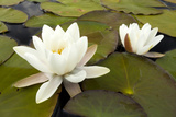 White Water Lily (Nymphaea Alba) in Flower  Scotland  UK  July 2020Vision Book Plate