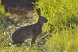Brown Hare (Lepus Europaeus) in an Arable Field  Scotland  UK