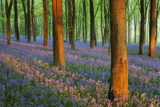 Carpet of Bluebells (Endymion Nonscriptus) in Beech (Fagus Sylvatica) Woodland at Dawn  UK
