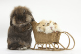Lionhead-Cross Rabbit Pushing Two Young Guinea Pigs in a Wicker Toy Sledge