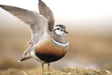 Male Eurasian Dotterel (Charadrius Morinellus) Displaying with Wings Raised  Grampian Mountains  UK