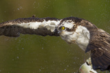 Osprey (Pandion Haliaetus) Fishing  Cairngorms National Park  Scotland  UK  July