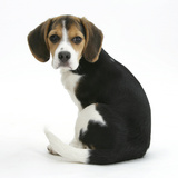Beagle Puppy  Florrie  4 Months  Sitting  Looking over Her Shoulder