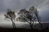 Windswept Silver Birch Trees (Betula Pendula) Silhouetted  Cairngorms Np  Scotland  UK  November