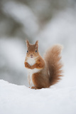 Red Squirrel (Sciurus Vulgaris) Adult in Snow  Cairngorms National Park  Scotland  February
