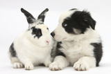 Tricolour Border Collie Puppy Basil  8 Weeks  with Black and White Rabbit