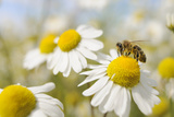 European Honey Bee Collecting Pollen and Nectar from Scentless Mayweed  Perthshire  Scotland