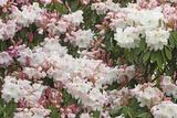 Rhododendron Flowers Winkworth Arboretum  Surrey  UK  May