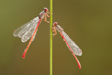 Small Red Damselflies {Ceriagrion Tenellum} Covered in Morning Dew  Arne Nature Reserve  Dorset  UK