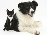Black-And-White Border Collie Bitch  with Black-And-White Tuxedo Kitten  10 Weeks