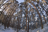 Fish-Eye Image of Scot's Pine Trees (Pinus Sylvestris) in Forest  Abernethy Forest  Scotland  UK