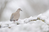Collared Dove (Streptopelia Decaocto) Perched on a Snow Covered Branch  Perthshire  Scotland  UK
