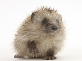 Baby Hedgehog (Erinaceus Europaeus) Portrait  Holding One Paw Aloft