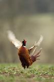 Male Pheasant (Phasianus Colchicus) Displaying  Hertfordshire  England  UK