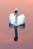 Mute Swan (Cygnus Olor) on Water with Reflection, Shapwick Heath Nr, Somerset Levels, Somerset, UK Papier Photo par Ross Hoddinott