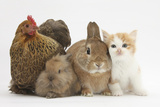 Partridge Pekin Bantam with Kitten  Sandy Netherland Dwarf-Cross and Baby Lionhead-Cross Rabbit