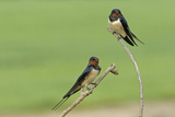 Two Barn Swallows (Hirundo Rustica)  Hertfordshire  England  UK  May