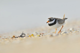Male Ringed Plover (Charadrius Hiaticula) on Beach  Outer Hebrides  Scotland  UK  June