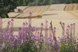 Rosebay Willowherb (Chamerion Angustifolium Angustifolium) Next to Arable Farmland  Yorkshire  UK