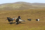 Black Grouse (Tetrao Tetrix) Males Fighting at Lek  Cairngorms Np  Grampian  Scotland  UK  April